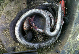 Snake tangled in mower deck spindles