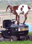 Goat standing on top of mower
